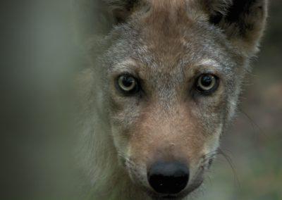 Wenn der Wolf zum Problem wird